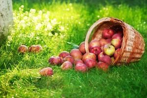 Осенний сбор яблок